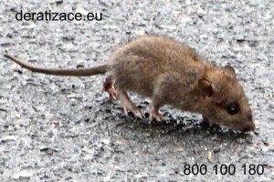 hubení potkanů jak se zbavit